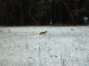 Coyote In Snowy Meadow